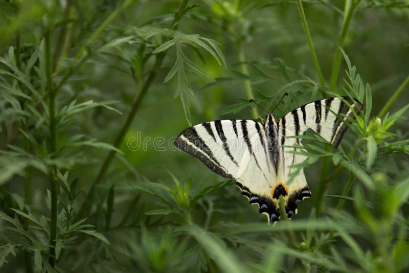 Бабочка с сломленным крылом стоковая фотография