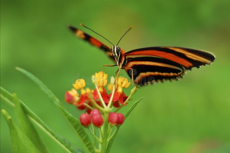 Бабочка тигра дуба стоковые фото