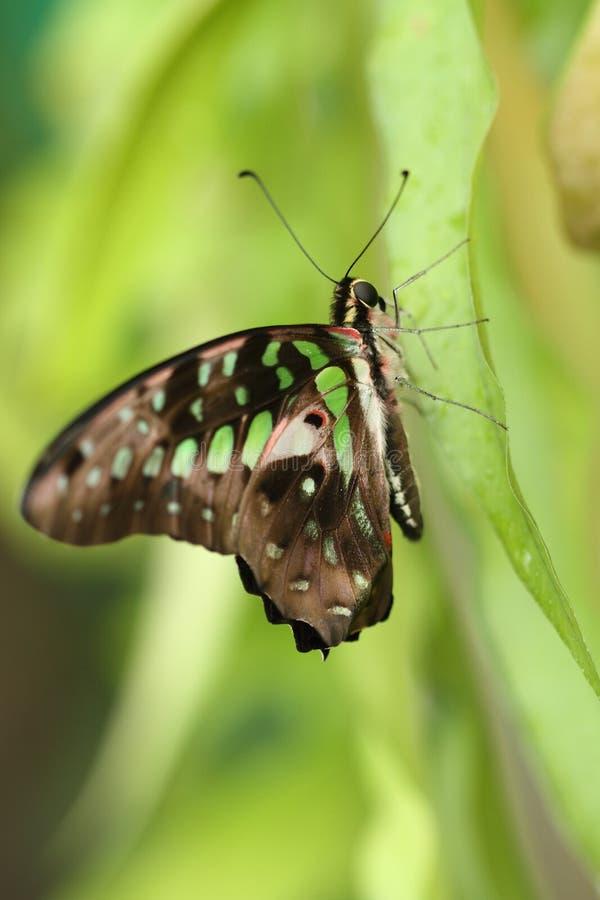 бабочка тропическая стоковые изображения rf