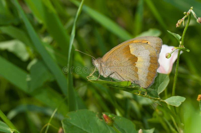 Бабочка луга коричневая отдыхая в тенях трав лета стоковые фото