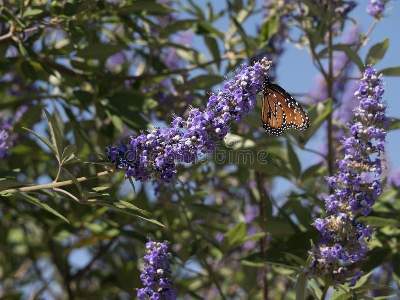 Бабочка ферзя посещает пурпурные мудрые цветки стоковые фото