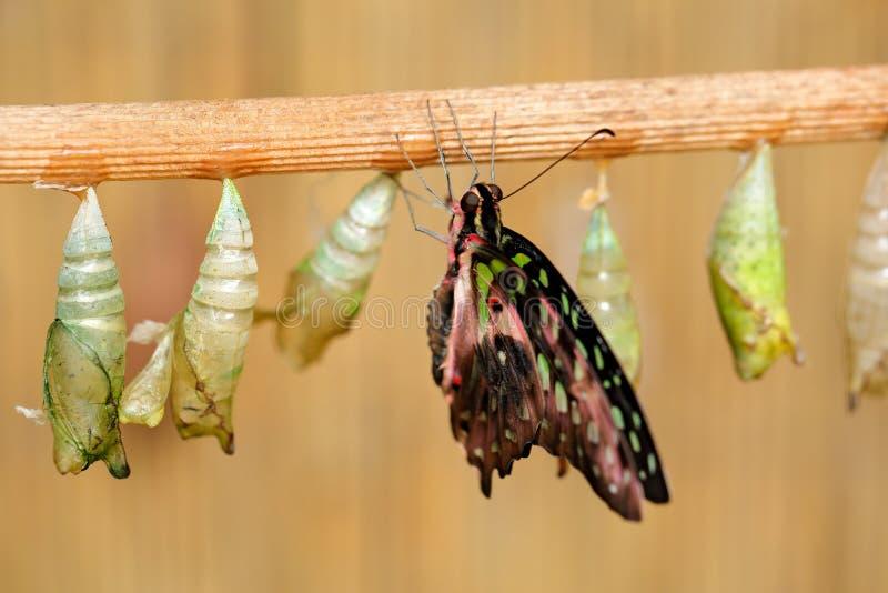 Бабочка хризалиса, насекомое-поведение Бабочка-Тэйл-джай, Графиум агамемен, рождение - первая минута жизни Природа стоковые фото