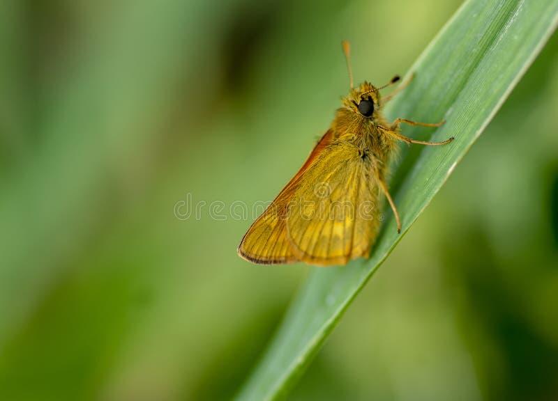 Бабочка шкипера портрета насекомого большая стоковые изображения rf