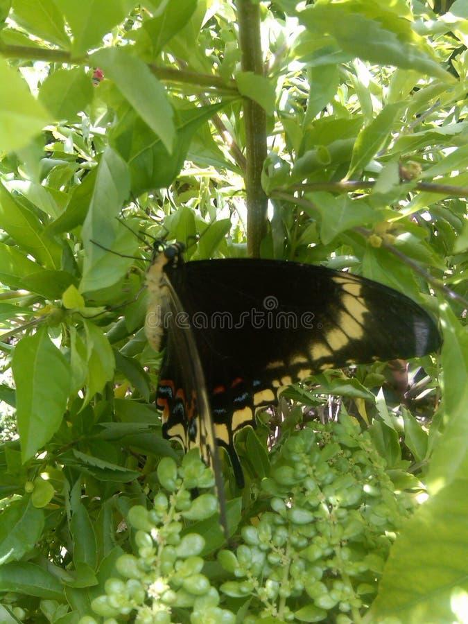 Бабочка ямайки стоковое фото rf