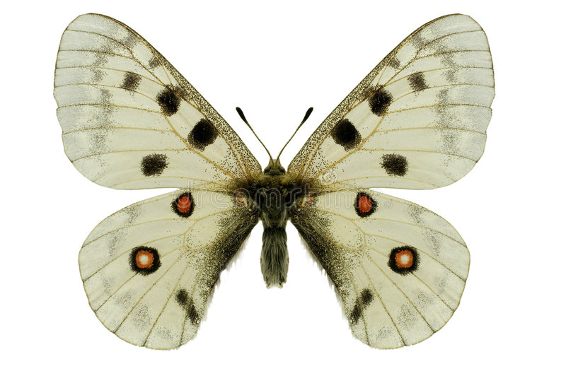 бабочка apollo стоковое фото rf