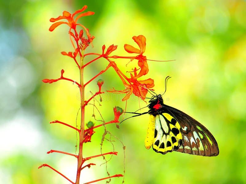 Бабочка Birdwing пирамид из камней подавая на красных цветках стоковые фото