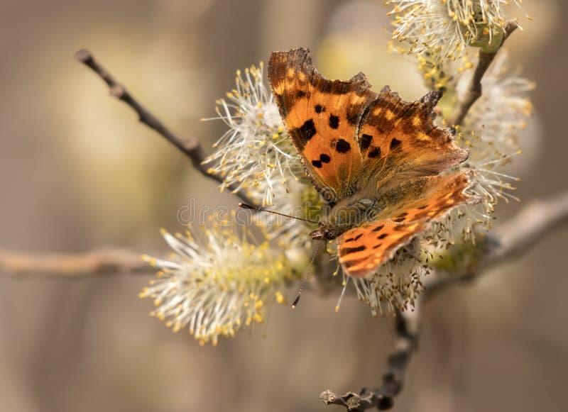 Бабочка c-альбома Polygonia подавая на цветениях вербы стоковое изображение