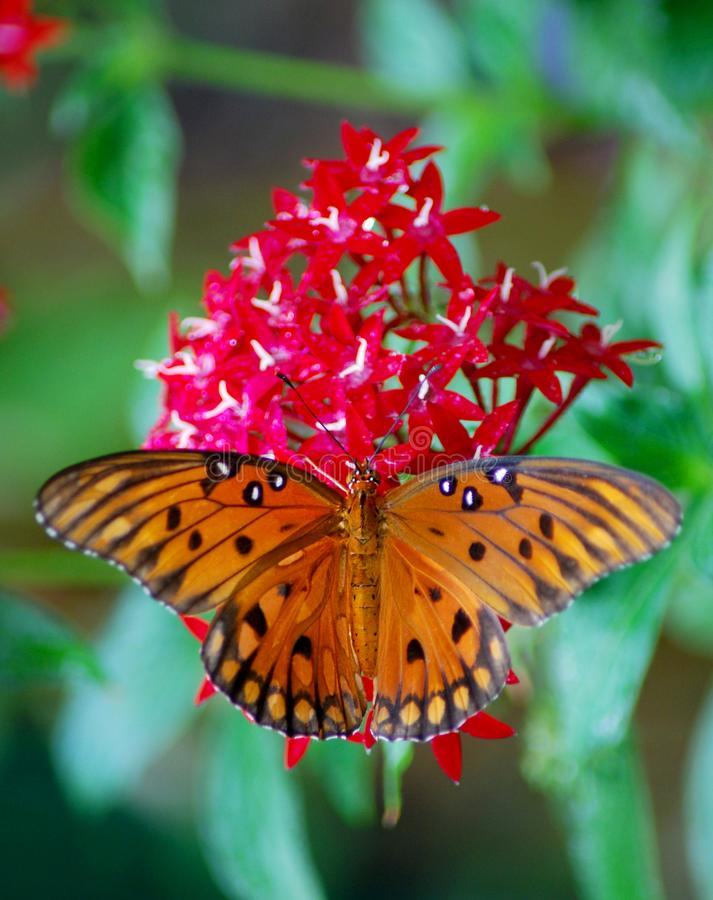 Бабочка Fratiliary залива на Lantana на обед стоковые фотографии rf