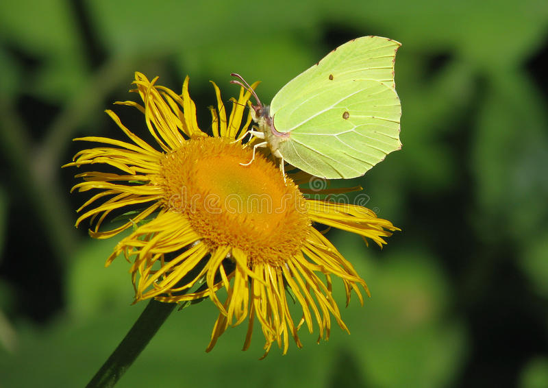 Бабочка Gonepteryx стоковое фото rf