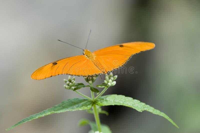 бабочка i Минесота стоковое изображение rf