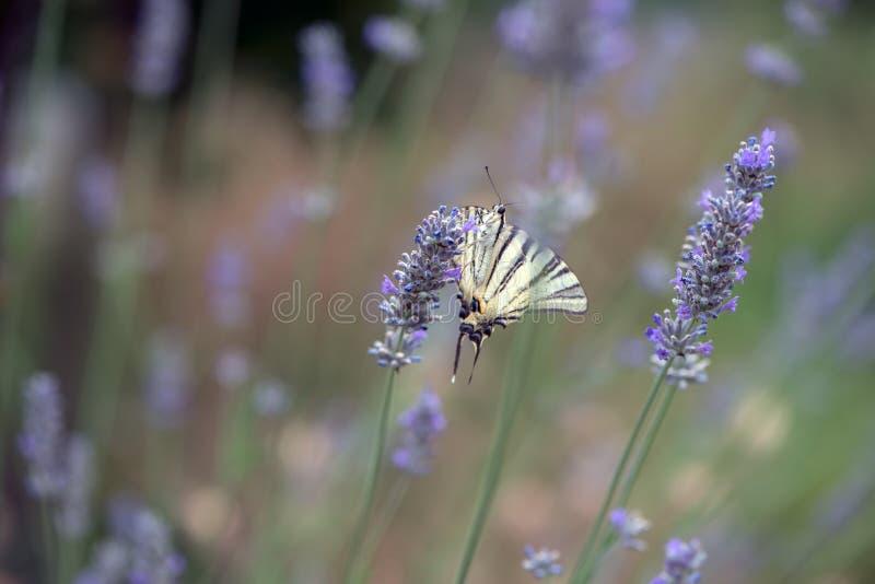 Бабочка Iphiclides Podalirius собирает нектар на sprig лаванды на летний день стоковое фото rf