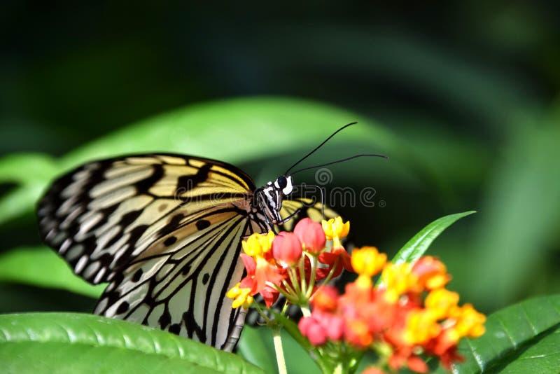 Бабочка leuconoe идеи на цветке camara Lantana стоковые фотографии rf