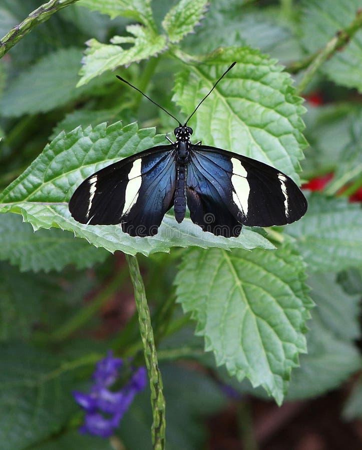 бабочка longwing sara стоковая фотография rf