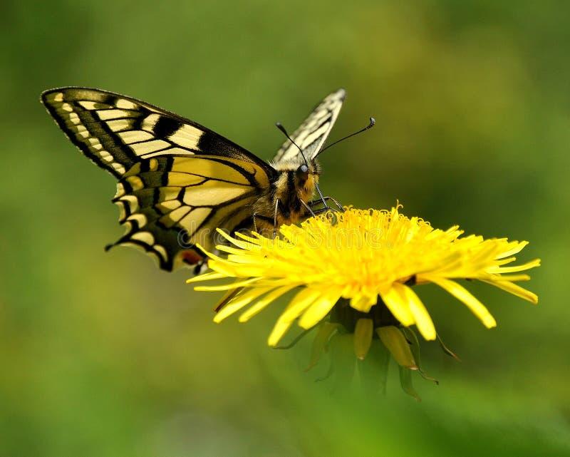 Бабочка Mahaon. Machaon 1 Papilio стоковые изображения