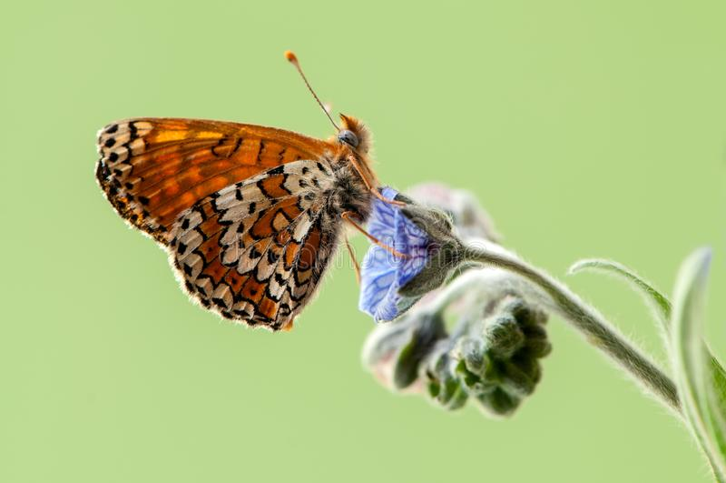бабочка Melita в раннем утре в расчистке среди цветков леса стоковое изображение