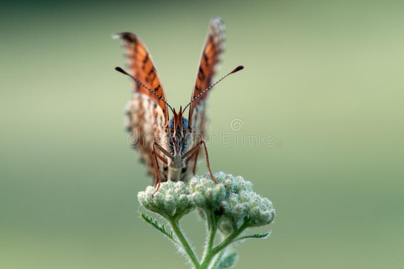 Бабочка Melitaea на цветке в утре сушит стоковое фото rf
