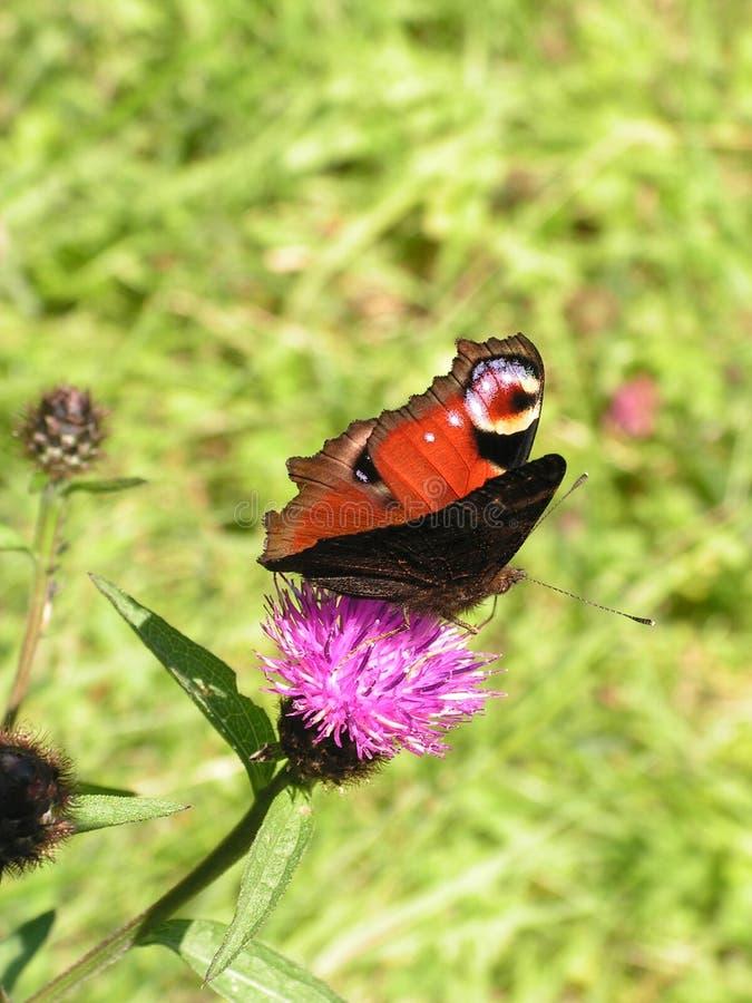 Бабочка na górze цветка Thistle стоковая фотография rf