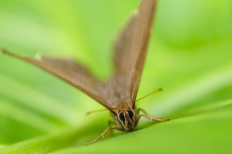 Бабочка, nagasawae muirheadi Neope, нимфалиды стоковое изображение rf