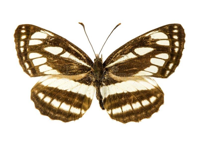 Бабочка Pallas Sailer стоковое изображение