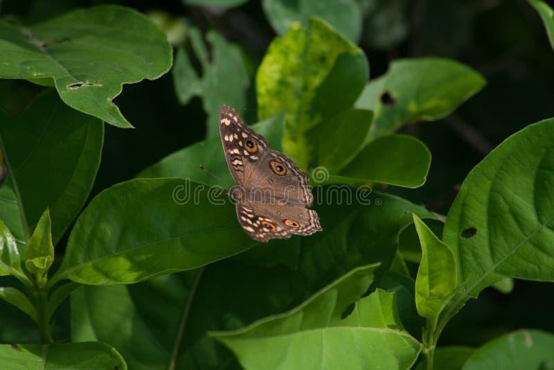 Бабочка Pansy павлина на красочном зеленом растении стоковые изображения rf