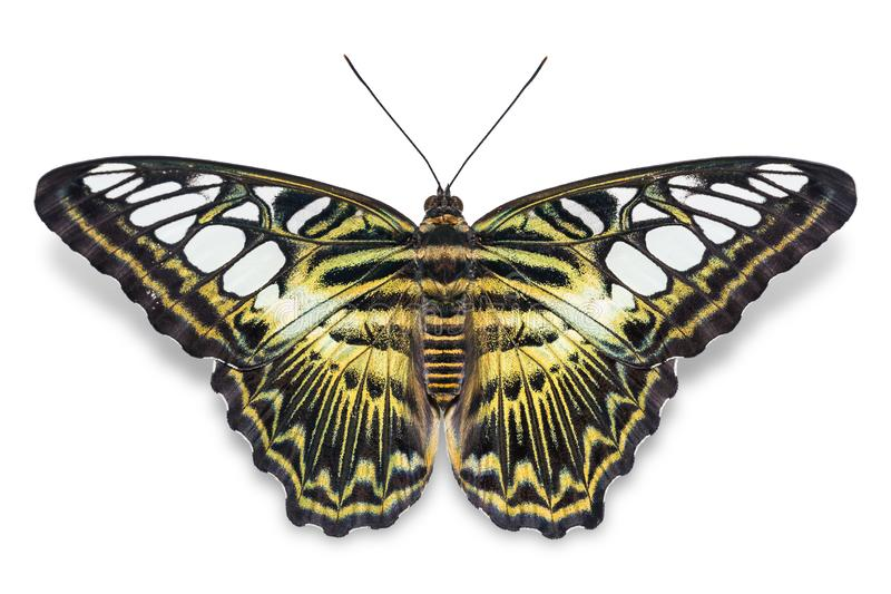 Бабочка Parthenos sylvia клипера стоковое изображение
