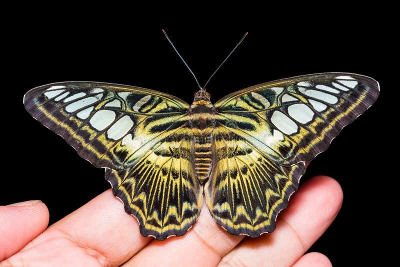 Бабочка Parthenos sylvia клипера стоковые фотографии rf