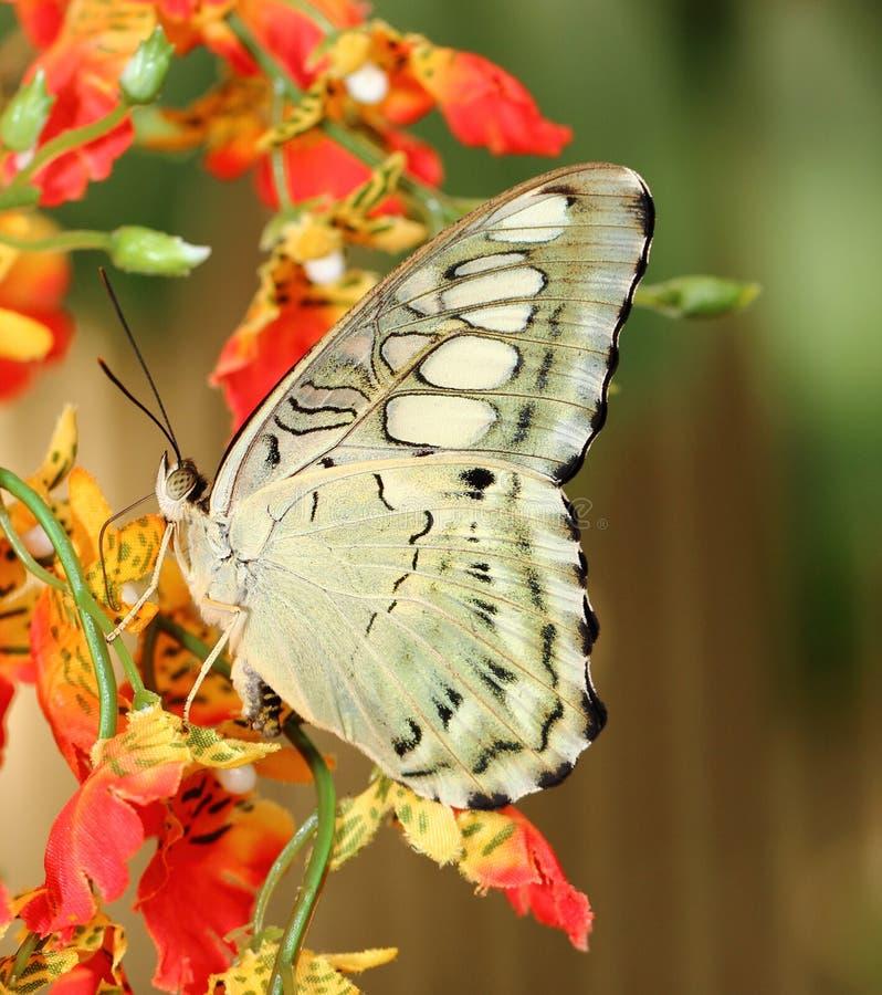 Бабочка Parthenos sylvia стоковые изображения
