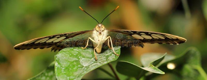 Бабочка Parthenos sylvia стоковые фото