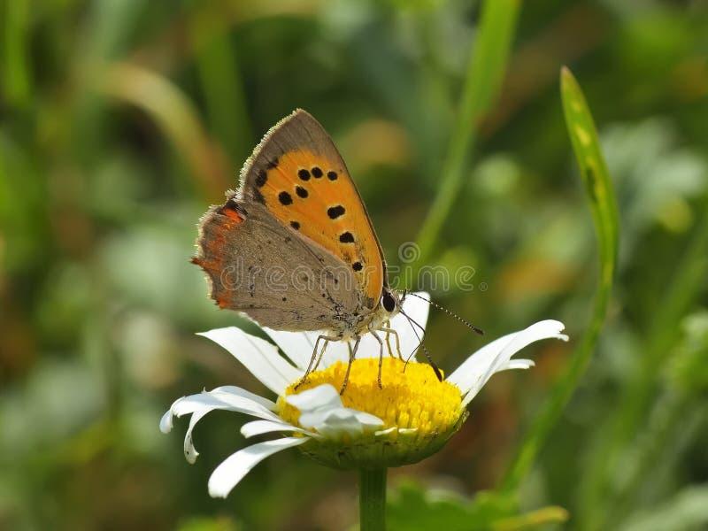Бабочка - plebejus argus стоковые фотографии rf
