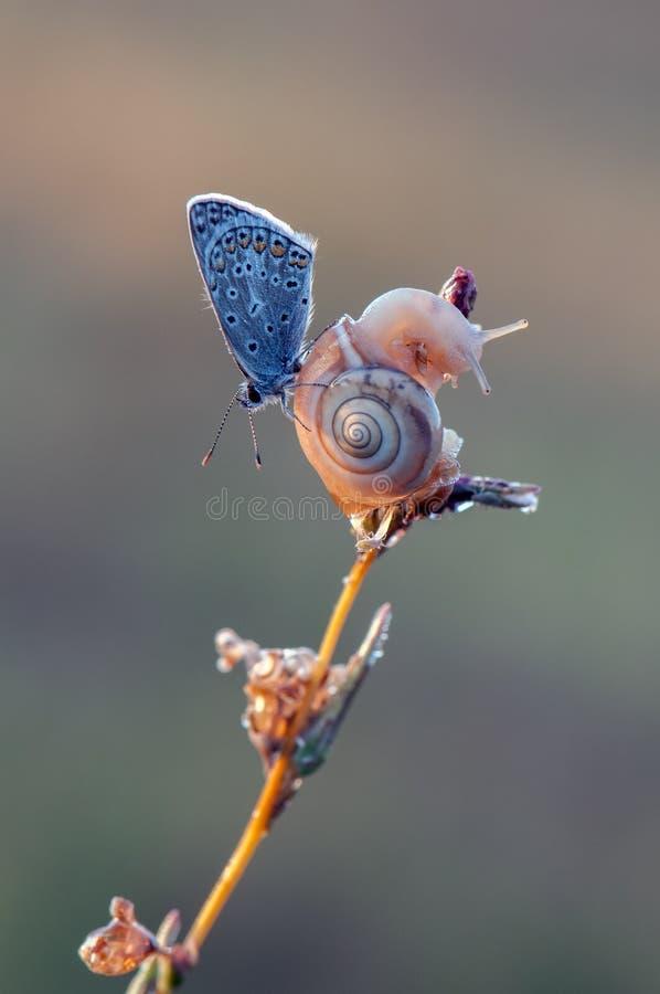Бабочка Polyommatus Икара голубая и небольшая улитка на сухом лезвии в раннем утре стоковое изображение rf