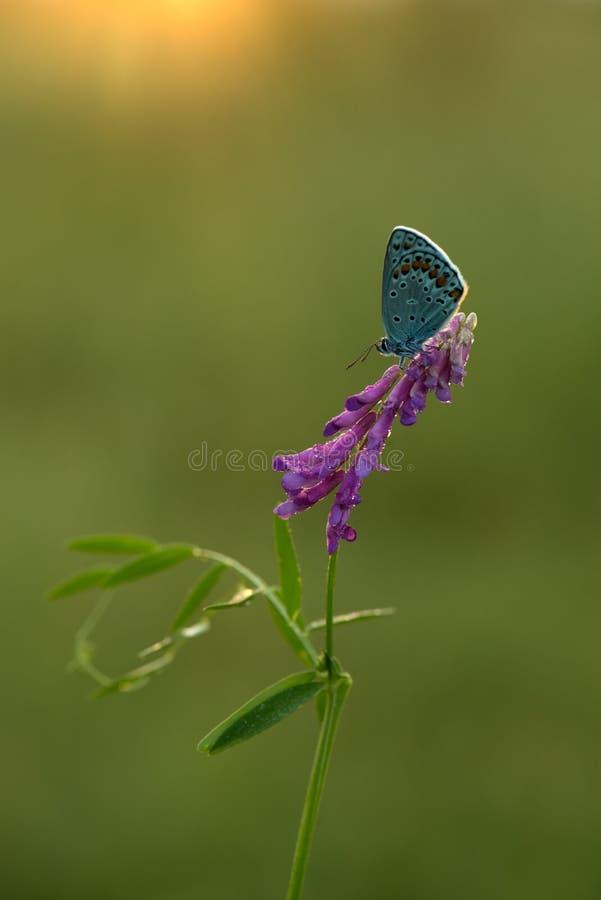 бабочка Polyommatus Икар на травинке сушит свои крылья от росы под первыми лучами солнца перед полетом стоковое изображение