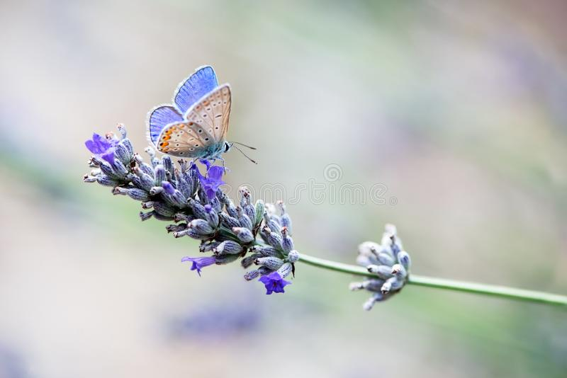 Бабочка Polyommatus Икар собирает нектар на sprig лаванды на летний день стоковые фото