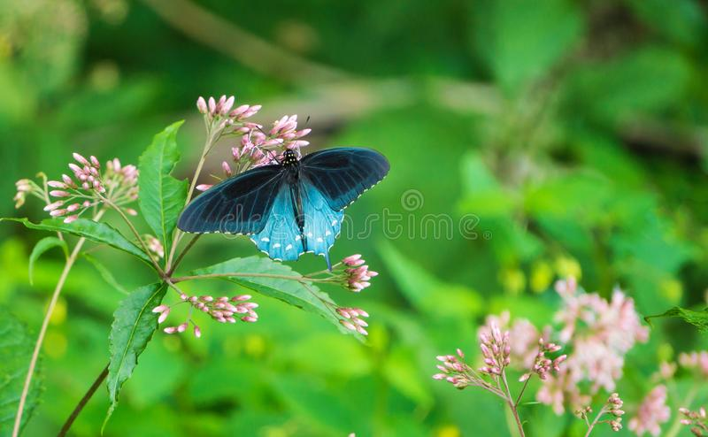 Бабочка Spicebush Swallowtail и общий Milkweed - 2 стоковое фото