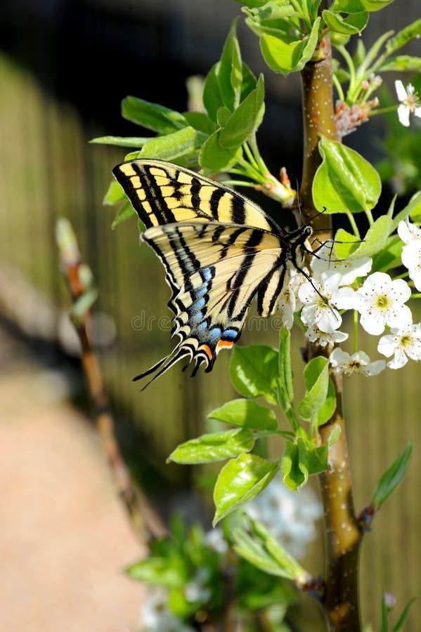 Бабочка Swallowtail сидит на ветви цветя дерева для обнаружения нектара стоковое изображение rf
