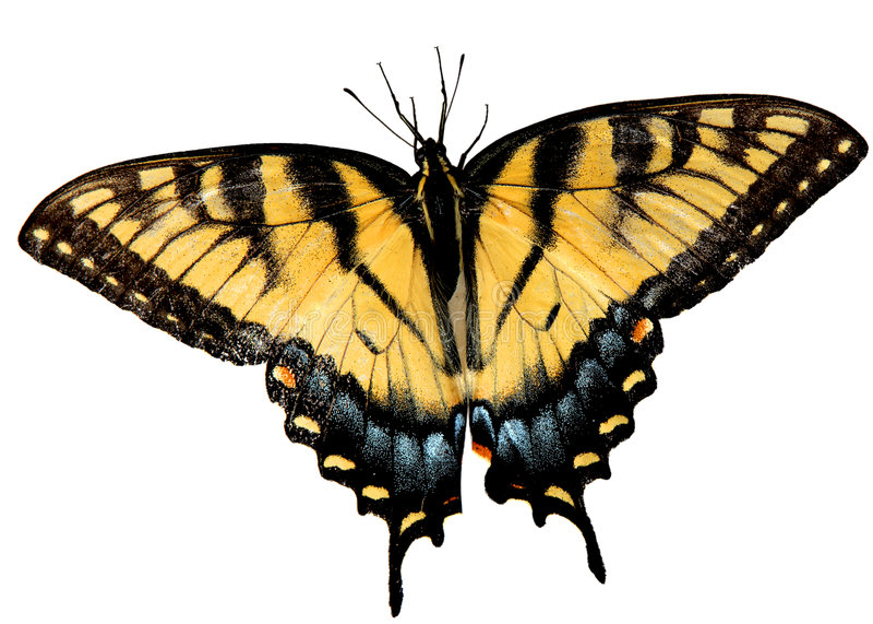 Бабочка Swallowtail тигра пасхи стоковая фотография