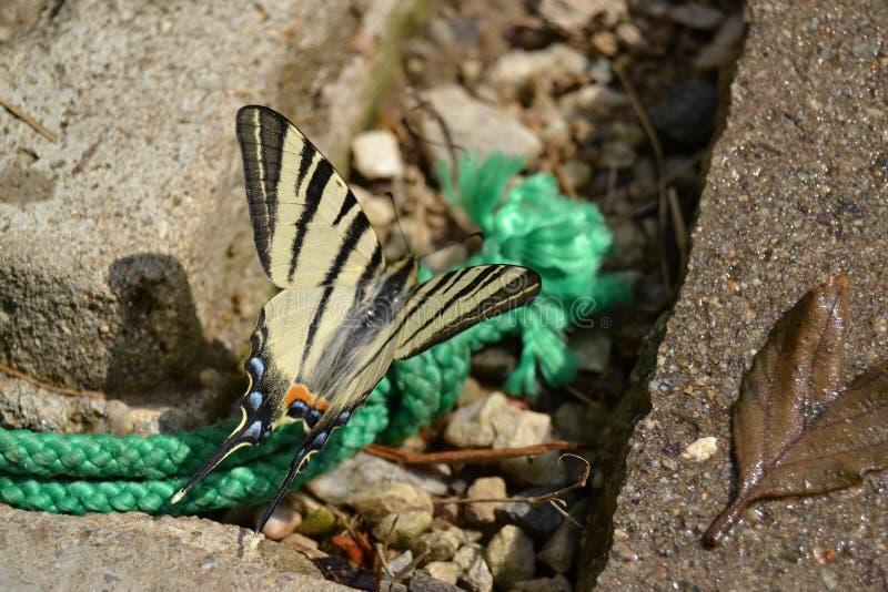 Бабочка - Swallowtail стоковые изображения