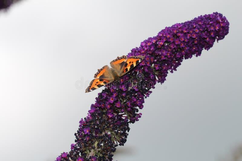 Бабочка Tortoiseshell на будлее стоковые фотографии rf