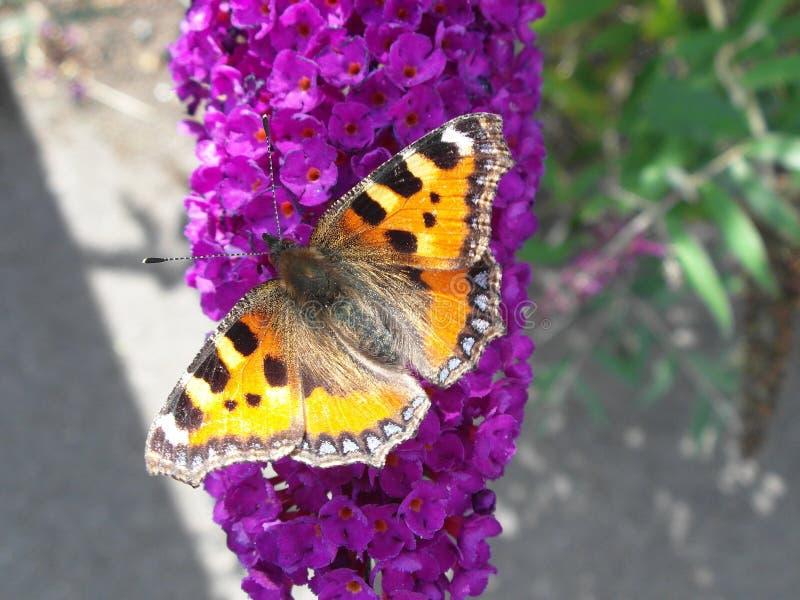 Бабочка Tortoiseshell на цветке будлеи стоковые изображения