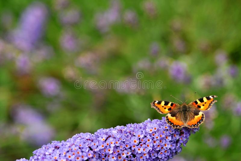 Бабочка Tortoiseshell стоковая фотография rf