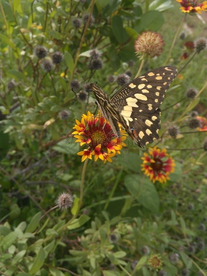 Бабочки выбора цветень вне цветок стоковая фотография