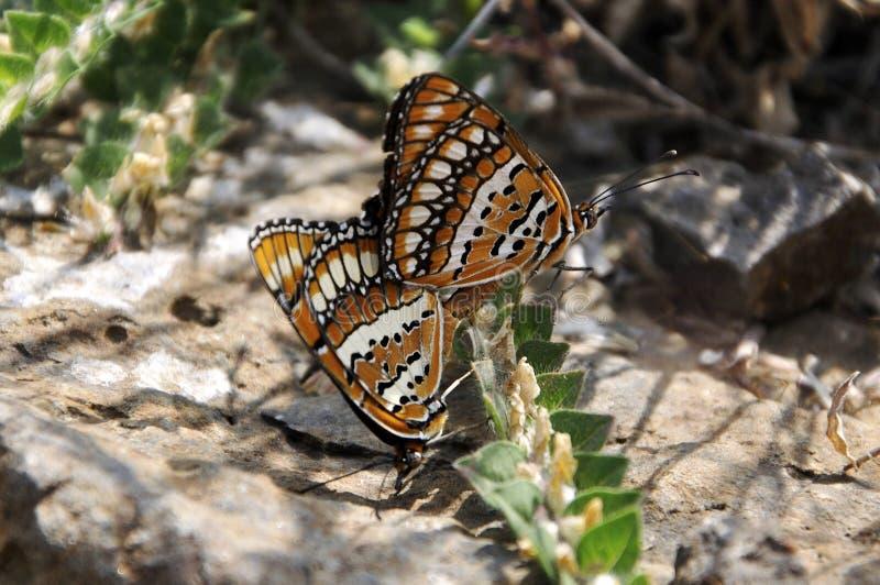 Бабочки - запятнанные шутники стоковые фотографии rf