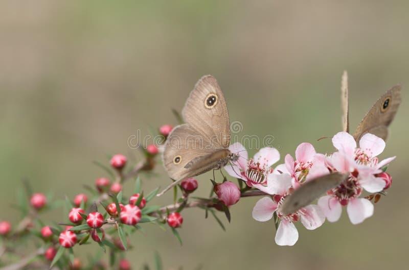 Бабочки кольца весны тусклые на розовом австралийском leptospernum цветут стоковое изображение