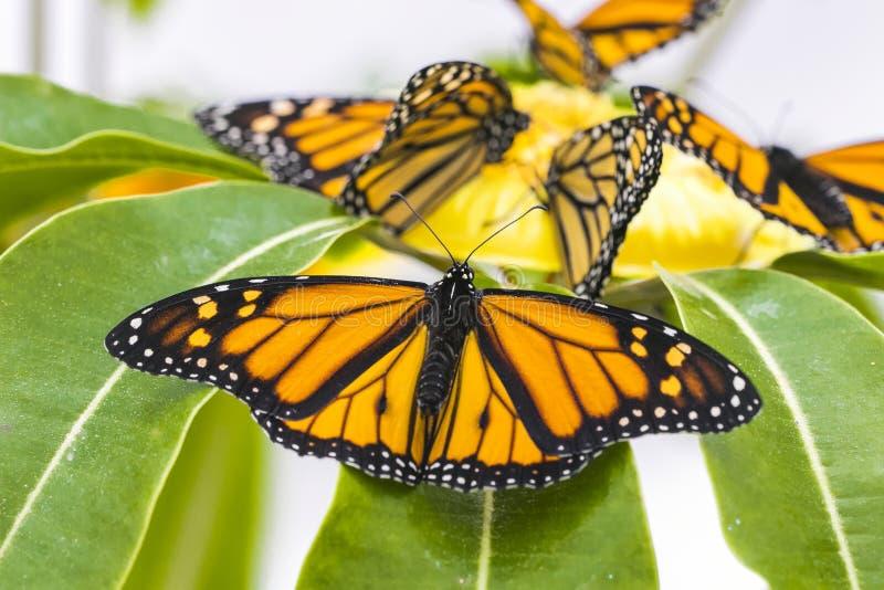 Бабочки монарха, конец вверх по съемке макроса стоковое фото