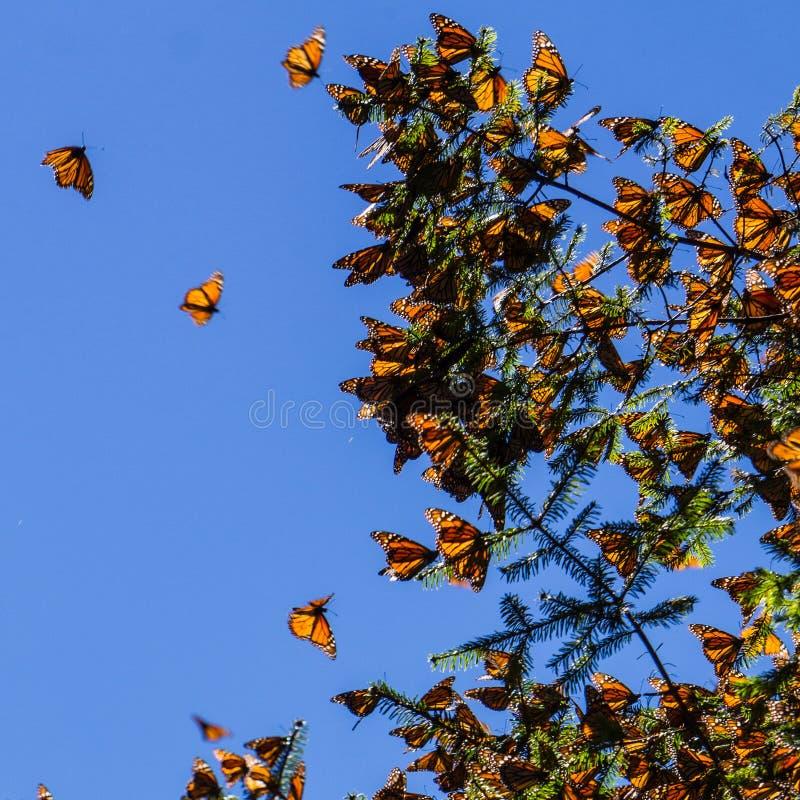 Бабочки монарха на ветви дерева в предпосылке голубого неба стоковые изображения rf