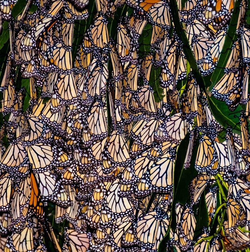 Бабочки монарха, пляж Pismo, Калифорния стоковое изображение rf