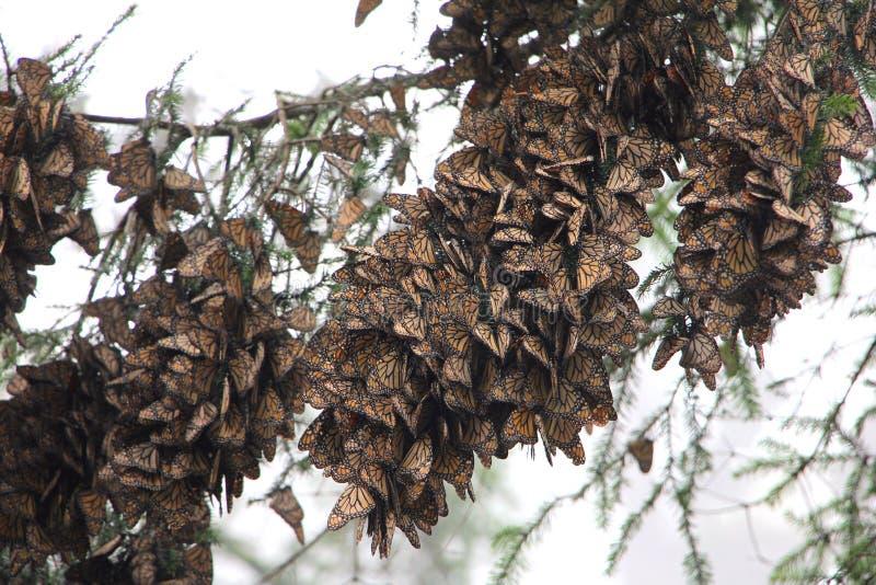 Бабочки монарха стоковые изображения