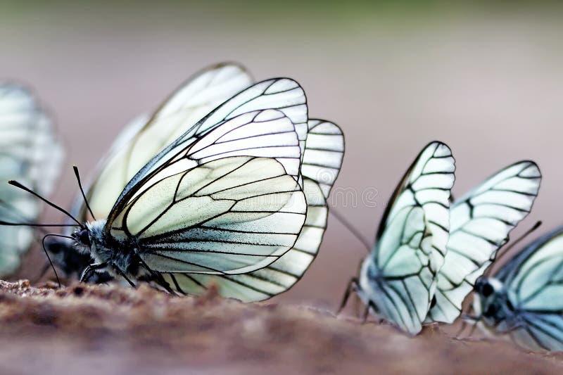 Бабочки Черно-veined белое crataegi Aporia стоковые изображения