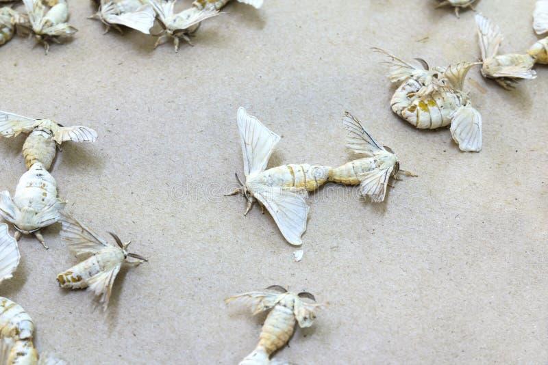 Бабочки шелкопряда стоковое изображение rf