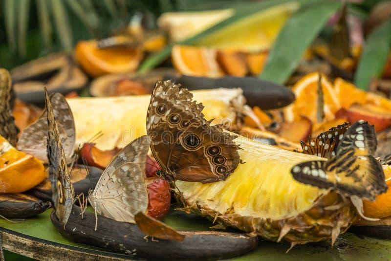 Бабочки morpho Peleides голубые стоковое изображение rf
