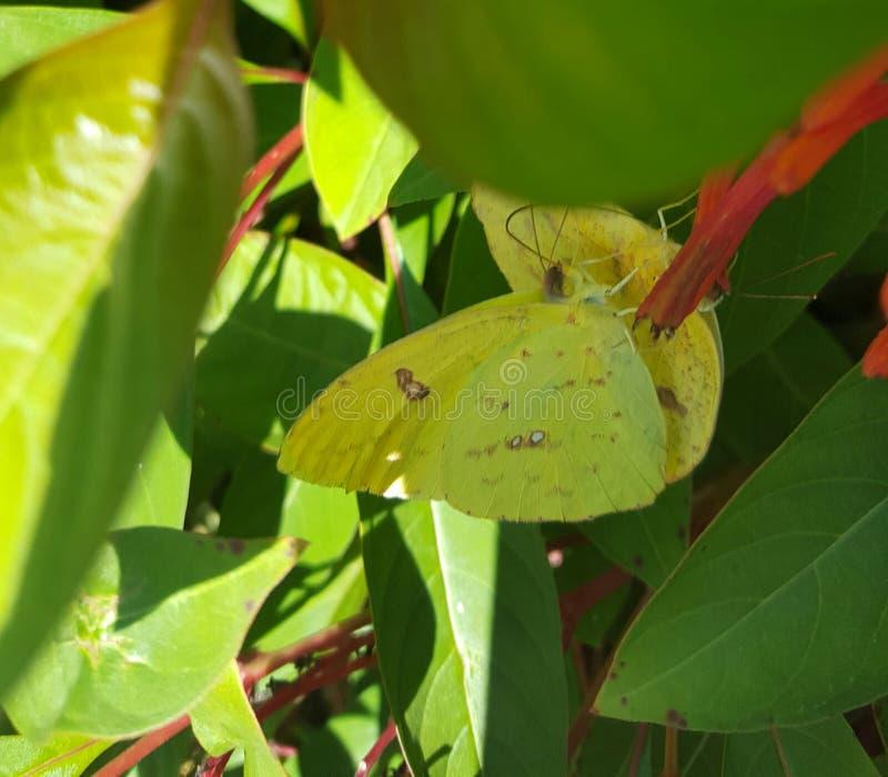 Бабочки sennae Phoebis на firebush Техаса стоковая фотография rf